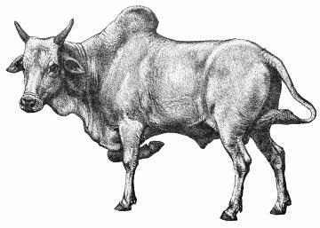 Most closely with the european many of today's african cattle