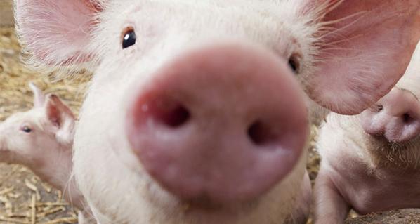 Productores jaliscienses de carne de cerdo, beneficiados por arancel