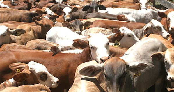 Pautas para reducir el estrés que genera el traslado y arribo de bovinos a sitios desconocidos