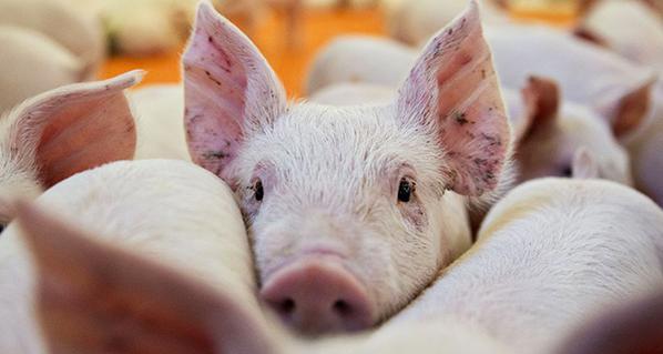 Porcicultura, el sector pecuario con más crecimiento en los últimos nueve meses