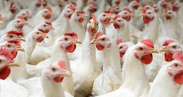 La avicultura será el sector con más crecimiento a nivel mundial durante 2020