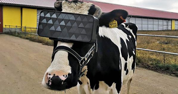 Realidad virtual para reducir la ansiedad de las vacas