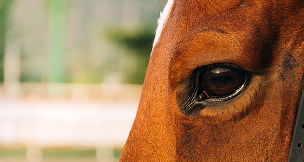 Los ojos de los caballos reflejan su estrés