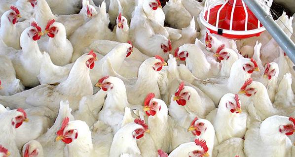México fue en 2019 el principal importador de pollo de Estados Unidos