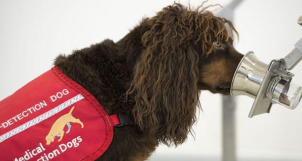 El equipo de perros que están siendo entrenados para detectar el coronavirus por el olor