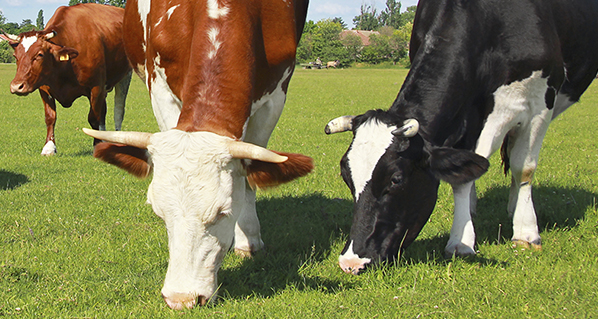 Repercusiones de las cojeras en la ganadería